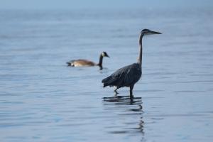 heron.goose
